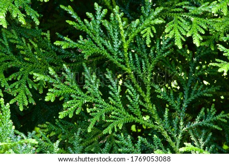 Beautiful japanese cypress leaf in the forest. ストックフォト ©