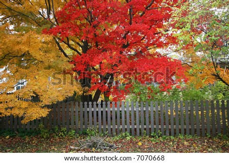beautiful japanese maple and maple trees