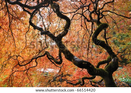 Beautiful japanese maple leaves in the historic butchart gardens in autumn , vancouver island, british columbia, canada