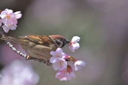 Beautiful Japanese pink cherry blossoms and a sparrow