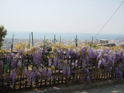 beautiful japanise wisteria growing on iron fence / greek city and ocean on background
