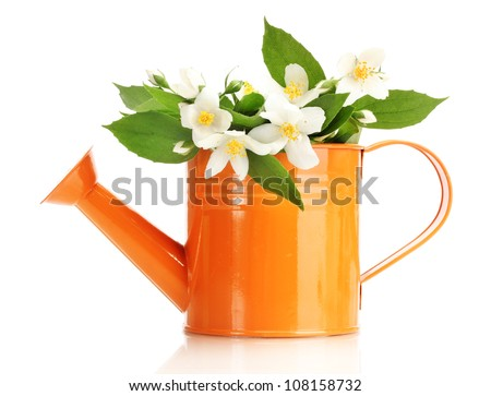 beautiful jasmine flowers with leaves in watering can isolated on white
