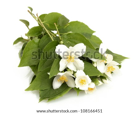 beautiful jasmine flowers with leaves isolated on white