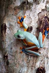 Beautiful Javan tree frog climbing on tree, Rhacophorus reinwardtii, Indonesian tree frog