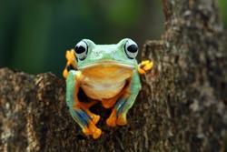 Beautiful javan tree frog on wood, flying frog on green leaves, animal closeup