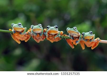 Photo of  Beautiful javan tree frog sitting on branch, flying frog lined up on the bridge