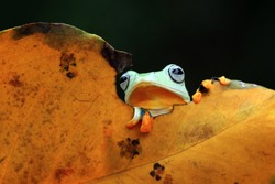 Beautiful javan tree frog sitting on branch, flying frog on dry leaves, amphibian closeup