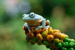 Beautiful Javan tree frog sitting on green leaves, flying frog on orange fruit, Rhacophorus reinwardtii