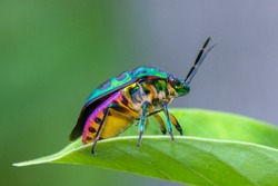 Beautiful Jewel beetle. Jewel bugs or metallic shield bugs.