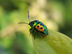 Beautiful Jewel beetle. Jewel bugs or metallic shield bugs