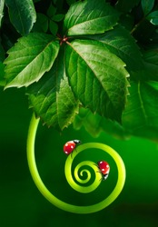 Beautiful juicy leaves and curl plants with two ladybugs macro glows in sun on dark green saturated background outdoors spring or summer. Best amazing image of purity and fragility of nature.
