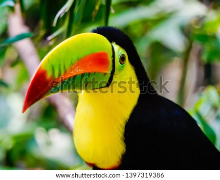 Beautiful keel-billed toucan in Cartagena park Colombia