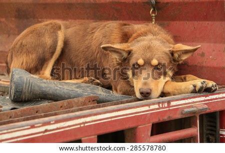 Beautiful Kelpie dog (Australian breed of sheep dog) resting next to a gumboot on the back of a ute.