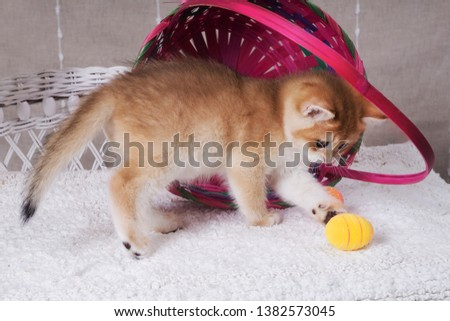 Cat british, chinchilla color Images and Stock Photos - Page: 2