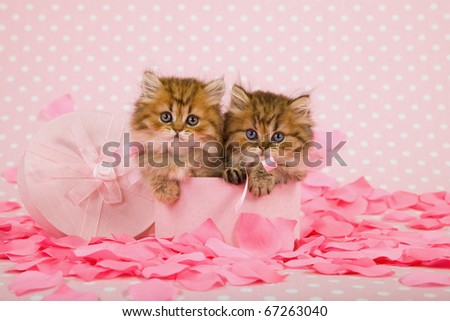 Beautiful kittens in Valentine pink box with rose petals