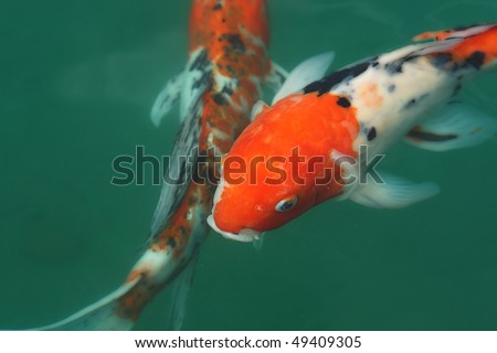 Beautiful Koi fish in a pond