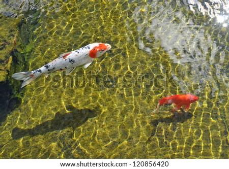 Beautiful koi fish swimming in the pond. Gold fish