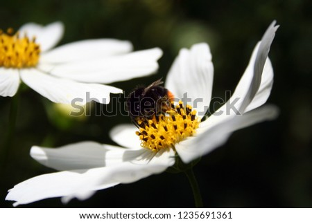 Photo of  Beautiful kosmos flower attracted to the garden of a bumblebee.