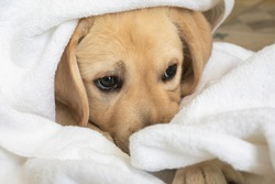 Beautiful Labrador puppy dog in white towel after bath. Baby animals