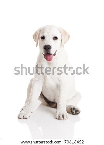 Beautiful labrador retriever cream puppy isolated on white background