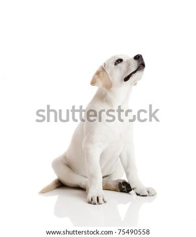 Beautiful labrador retriever cream puppy isolated on white background