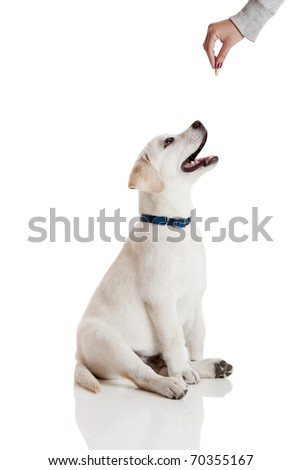 Beautiful labrador retriever cream puppy isolated on white being rewarded for good behavior