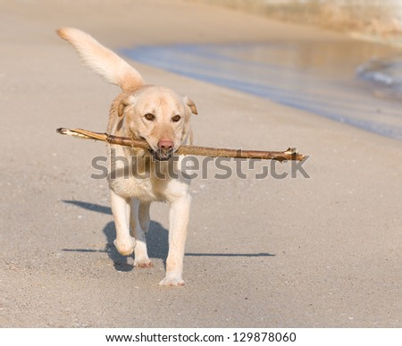 Beautiful Labrador Retriever dog playing on the beach with a stick