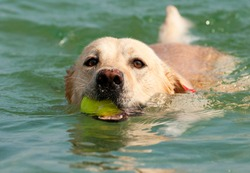 Beautiful Labrador Retriever dog swim in sea with ball