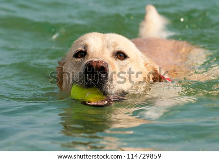 Beautiful Labrador Retriever dog swim in sea with ball