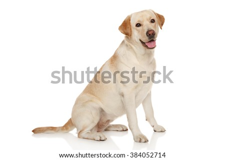 Beautiful Labrador retriever in front of white background #384052714