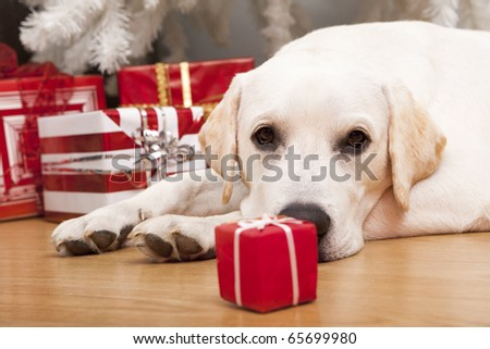 Beautiful Labrador retriever on Christmas day lying on the floor