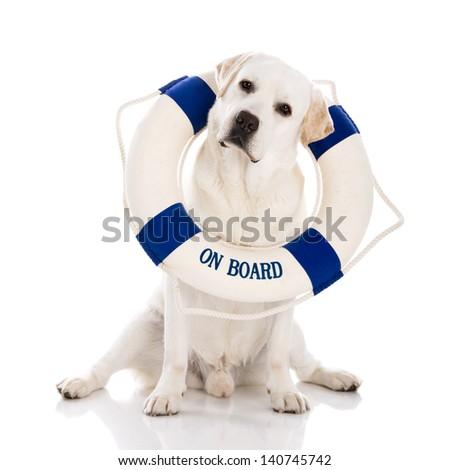 Beautiful labrador retriever sitting on floor with a sailor buoy