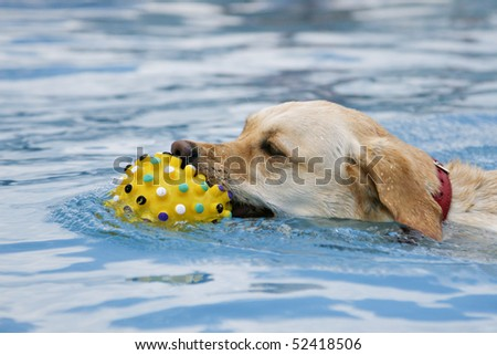 Beautiful Labrador retriever swimming with toy