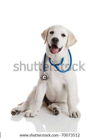 Beautiful labrador retriever with a stethoscope on his neck isolated on white
