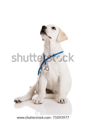 Beautiful labrador retriever with a stethoscope on his neck, isolated on white