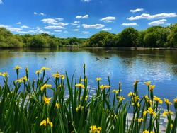 Beautiful lake view with blue sky reflection on water and yellow Iris in front, Epping Forest Connaught Water , north London, England.