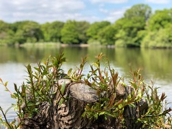 Beautiful lake view with  tree stump in front, Epping Forest Connaught Water , north London, England.