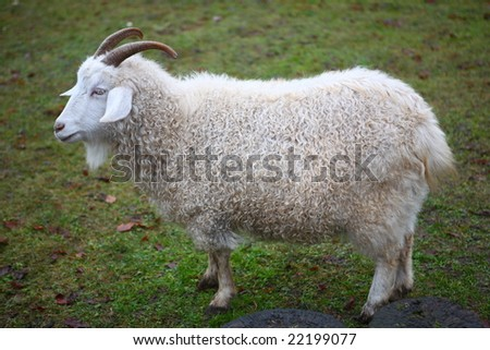 Beautiful lamb, with thick wool.