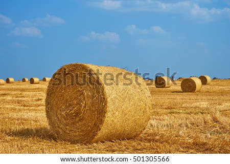 Beautiful landscape. Agricultural field. Round bundles of dry grass in the field against the blue sky. Bales of hay to feed cattle in winter