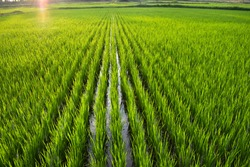 beautiful landscape growing Paddy rice field crop  agricultural transplant wet farming land for seasonal harvesting south India tamilnadu
