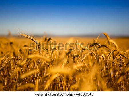 Beautiful landscape image of a wheat field