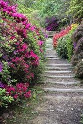 Beautiful landscape image of footpath border by Azalea flowers in Spring in England