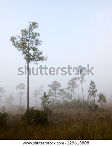 Beautiful landscape in the early morning fog with Saw palmetto (Serenoa repens) Slash pine (Pinus elliottii) and in the Florida Everglades National Park.