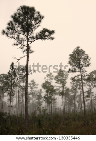 Beautiful landscape in the early morning fog with Slash pine (Pinus elliottii) and in the Florida Everglades National Park.