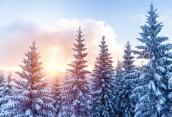 Beautiful landscape of forest in wintertime, majestic high pine trees covered with snow in mild sunset light, beauty of winter nature