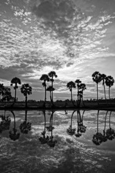 Beautiful landscape of nature with dramatic cloudscape, row of palm trees in silhouette reflect on surface water of river