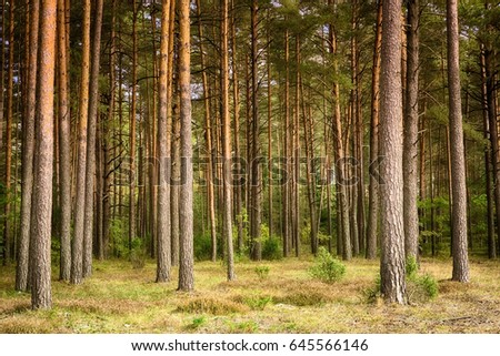 Beautiful landscape of pine forest in summer day. Nature Wallpaper. The tall trees of the pine trees growing in the old forest.