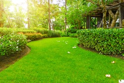 Beautiful landscape of smooth green grass lawn, Plumeria flowers on turf, trees with supporting, green shrub and brown wooden trellis in a good maintenance garden