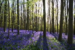 Beautiful landscape of Spring bluebells in forest