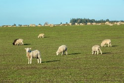 Beautiful landscape of the New Zealand - hills covered by green grass with herds of sheep with snow mountain.